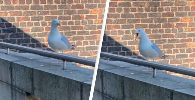 Man Thinks He's Taught A Seagull To Bark