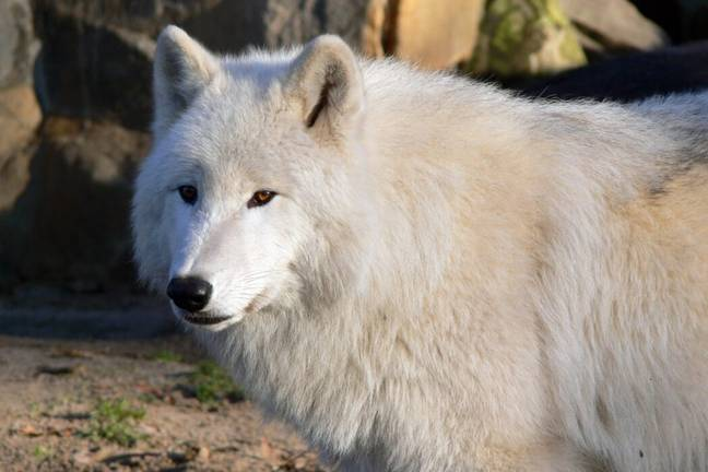 A white wolf (PA Images)