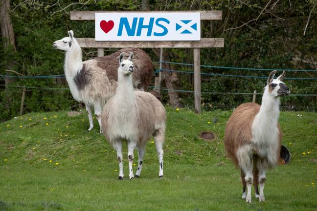 Llama antibodies could become a Covid-19 treatment (PA Images)