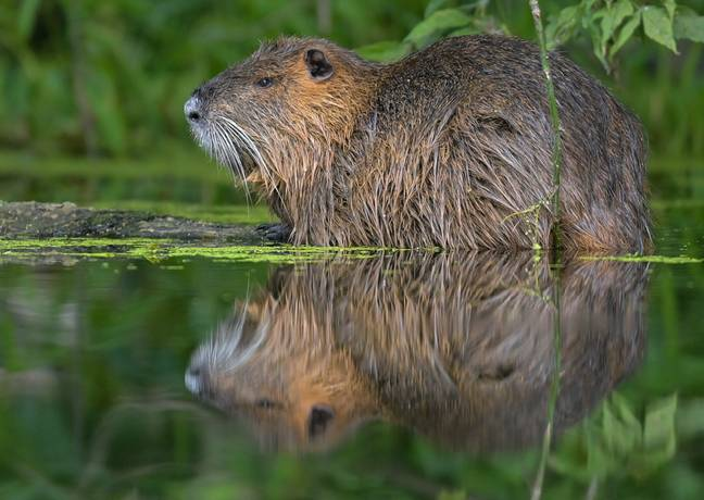 30 July 2020, Brandenburg, Drahendorf: Late in the evening, just before sunset, a nutria, also known as beaver rat or marsh beaver, takes a rest on a tree trunk in the water Drahendorfer Spree, a section of the approximately 400-kilometre-long Spree. The nutria (Myocastor coypus) is a rodent species originating from South America and naturalized in Central Europe. -Patrick Pleul/DPA/PA Images