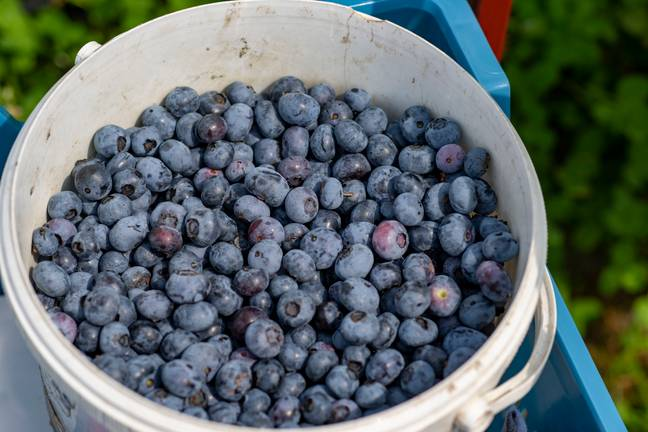 """PRODUCTION - 27 July 2021, Gelder-Walbeck: Blueberries lie in a bucket on the plantation. The cultivation of blueberries has increased in recent years. New cultivation methods have contributed to this, but also consumer demand for the fruit, which is praised as a superfood. (to dpa: """"Blueberries high in demand - harvest has begun"""") -Arnulf Stoffel/DPA/PA Images"""