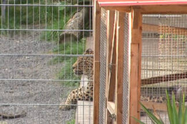 """25 August 2021, Saxony-Anhalt, Nebra: A leopard lies in its enclosure. A 36-year-old woman was bitten and seriously injured by a leopard while taking pictures in its enclosure. This was announced by a police spokesman in Halle on Wednesday. The woman from Thuringia was brought to a special clinic by rescue helicopter with severe head injuries. According to initial findings, the woman was supposed to be photographed with the leopard on Tuesday afternoon in a so-called """"senior residence for wild animals"""" on an area near Nebra (Burgenlandkreis). -Tobias Junghann�/DPA/PA Images"""