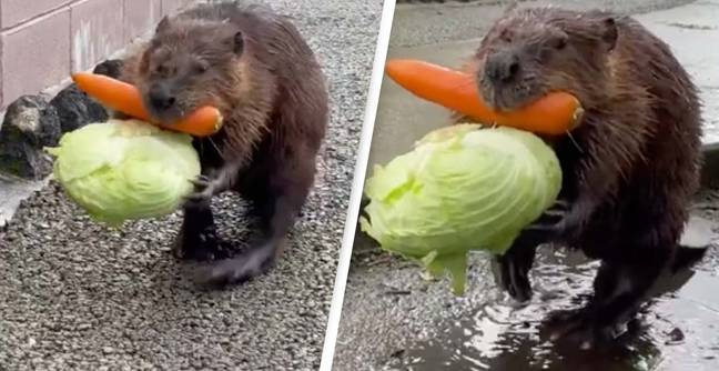 People Cannot Get Enough Of This Beaver Carrying Home It's Afternoon Snack