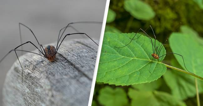 Daddy Long Legs Genetically Engineered To Become Daddy Short Legs