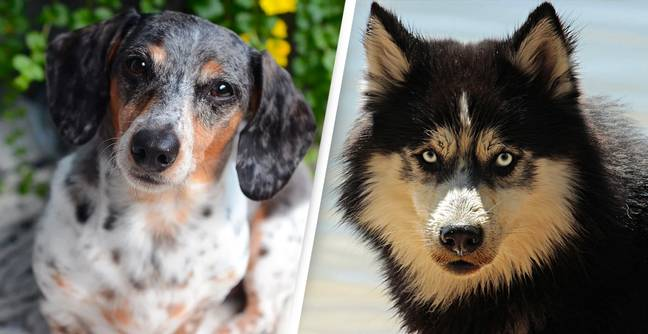 Dog Coat Patterns Date Back To Before Modern Wolves, Research Shows
