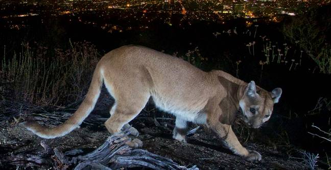 Heroic Mother Fights 65-Pound Mountain Lion With Bare Hands To Save Her Son