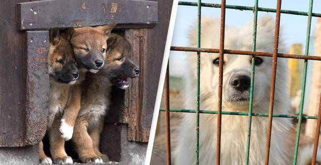 10 Puppies Confirmed Dead As 15 Rescue Dogs Shot By Australian Council