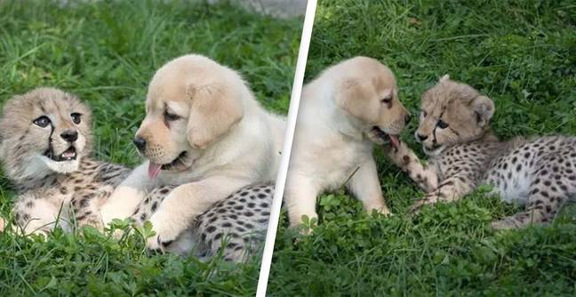 The Reason Cheetahs Need Emotional 'Support Dogs'