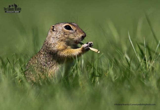 Music playing rodent (Comedy Wildlife Photography Awards)