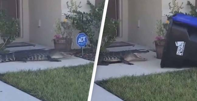Alligator Captured by Trash Can - @MiaaaPazzz/Reddit