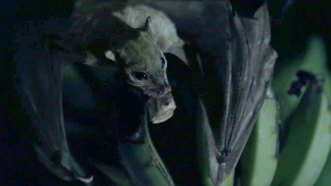 Contagion's virus came from an infected piece of banana carried by a bat.
