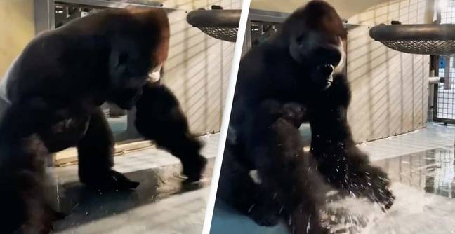 Silverback Gorilla Shows Off His Moves In Hilarious Video