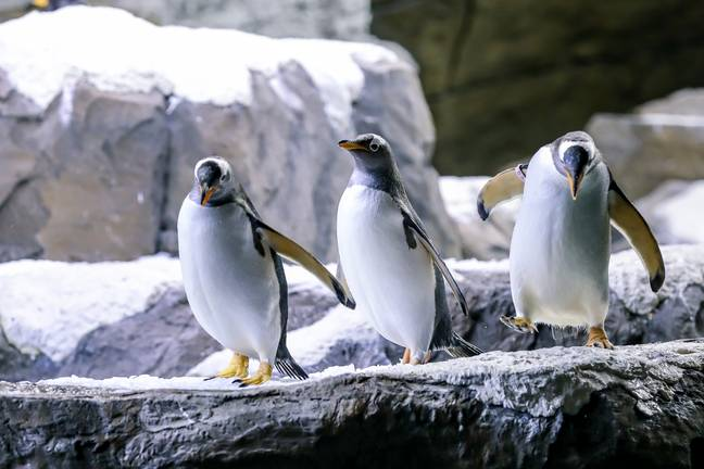 Gentoo penguins play at the Pairi Daiza zoo in Brugelette (PA Images)