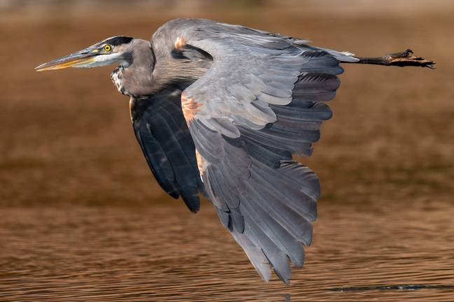 August 30, 2021, ELKTON, OREGON, U.S.A: A great blue heron nearly skims the water with his wing tip as it cruises low over the Umpqua River near Elkton in rural western Oregon.-Robin Loznak/Zuma Press/PA Images