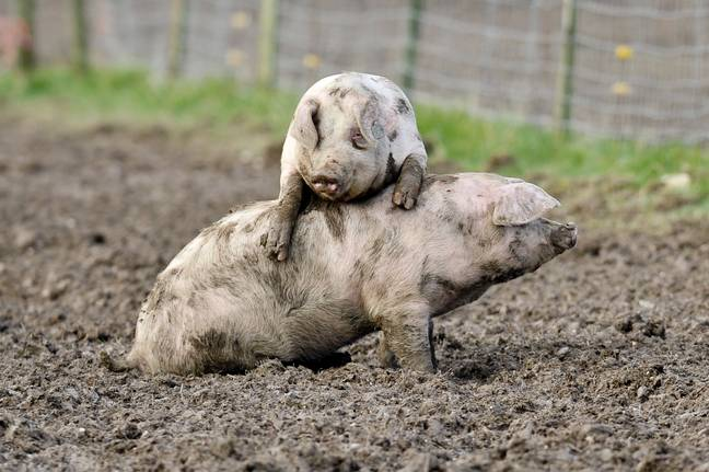 100,000 pigs could be destroyed. (PA Images)