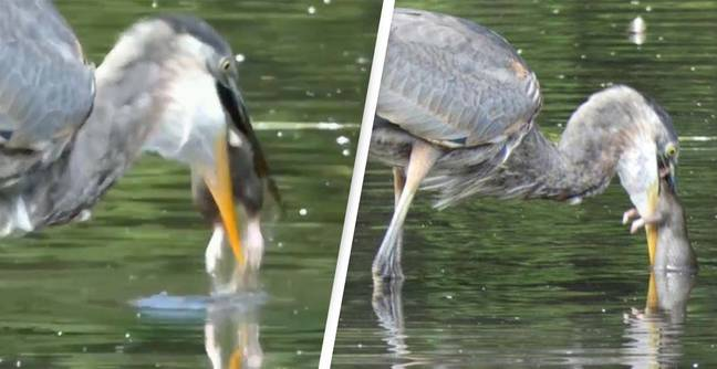 Incredible Video Shows Heron Devouring A Huge Rat Whole
