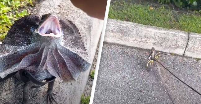 Man Takes His Cute Lizard For A Walk And Nobody Knows What To Think