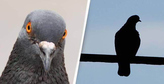 Kamikaze Pigeons Are Being Trained To Prevent Terrorist Attacks
