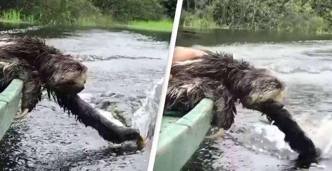 People Are Obsessed With This Sloth Casually Enjoying A Boat Ride