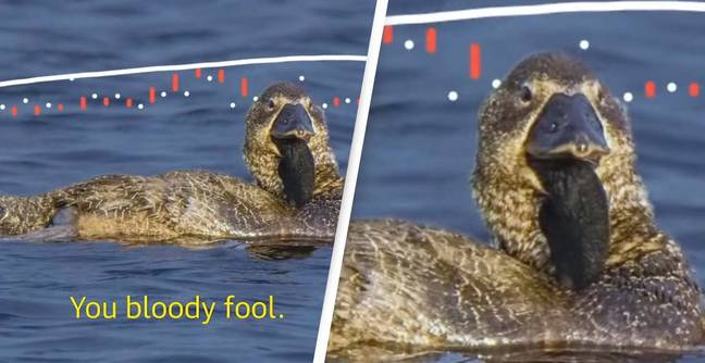 Duck Can Be Heard Saying 'You Bloody Fool' In Scientific First
