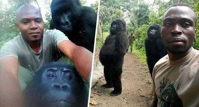 Gorilla Who Posed For Selfies With Anti Poaching Rangers Dies Aged 14