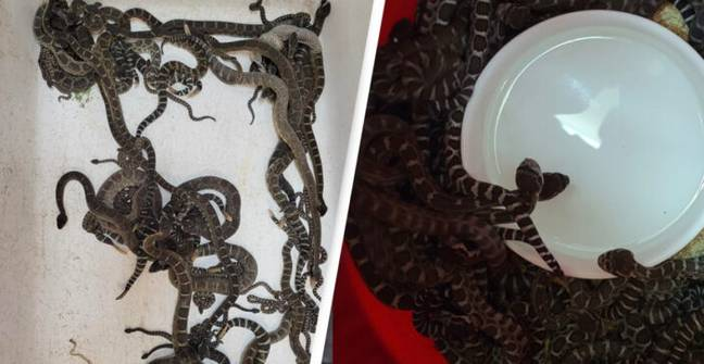 Woman Discovers More Than 90 Adult And Baby Rattlesnakes Tangled Up Under Home