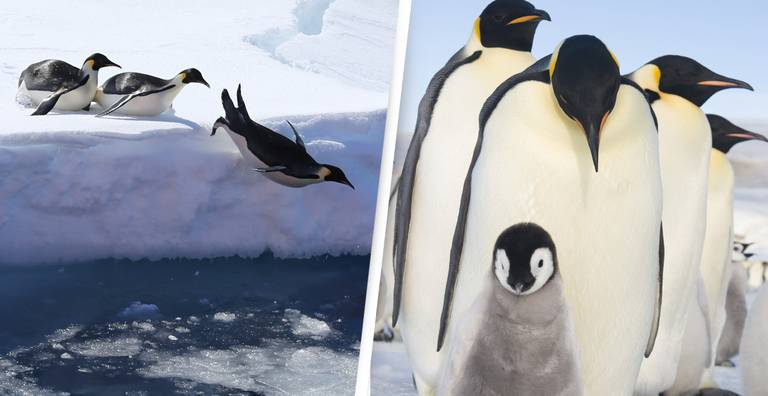 Penguins Threatened By Climate Change Face Extinction Without Our Help
