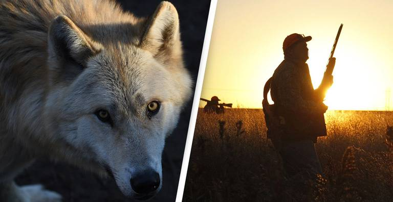 Hunters Kill More Than 200 Endangered Wisconsin Gray Wolves in Less Than Three Days