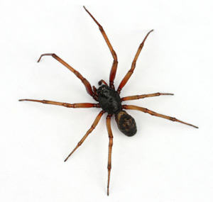 UK Teen Attacked By Poisonous Spider In Enfield Cinema false widow
