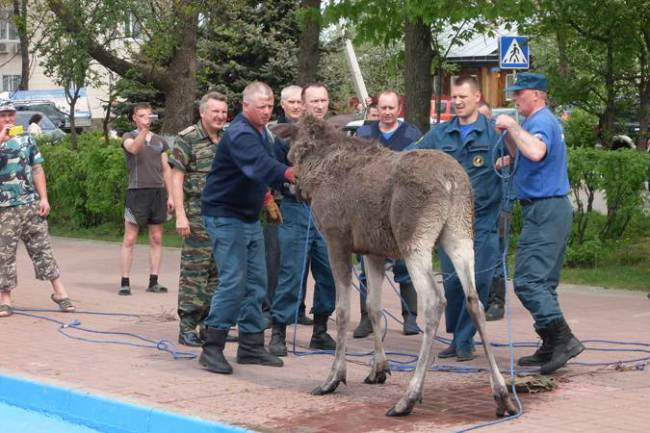 Drunk Russian Moose Falls In Pool After All Day Session ad 137457929