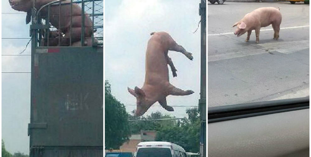 Pig Jumps Out Of Moving Truck On Way To Be Slaughtered pig escape 990x500