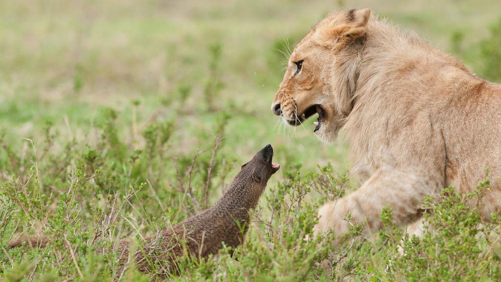 Tiny Mongoose Takes On Four Lions, Wins Comfortably tiny mongoose takes on four lion