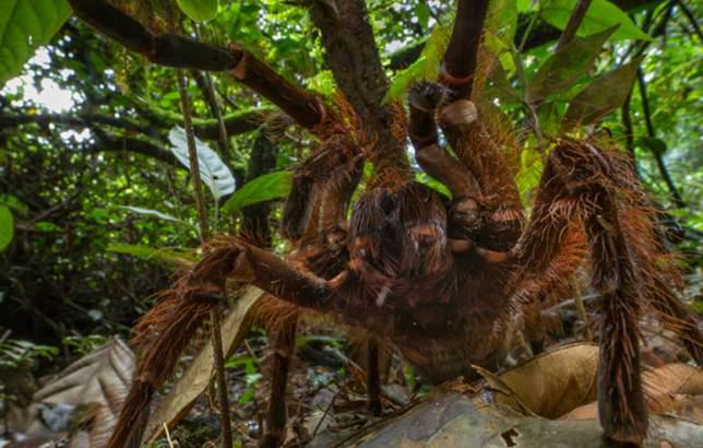 Amazonian Spider The Size Of A Puppy Discovered By Scientist ad 149263301