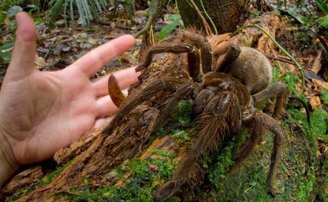 Amazonian Spider The Size Of A Puppy Discovered By Scientist spiderd