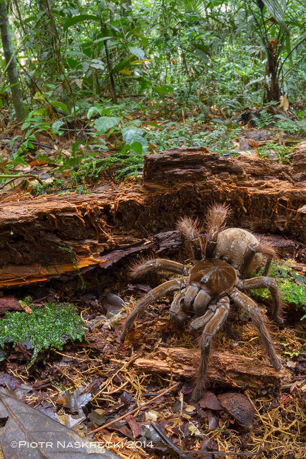 Amazonian Spider The Size Of A Puppy Discovered By Scientist theraphosa5