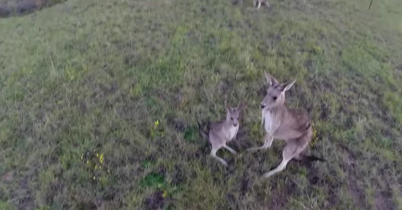 Kangaroo Gets Pissed With Drone, Delivers Flying Punch To Its Dome fbthumb copy1