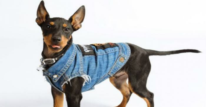 Is Your Dog A Rocker, But Missing A Sleeveless Denim Jacket? Youre In Luck PAY Denim Dogs 2 THUMB e1422391224997
