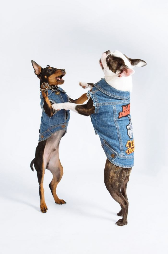 Is Your Dog A Rocker, But Missing A Sleeveless Denim Jacket? Youre In Luck PAY Denim Dogs 5 e1422391430634