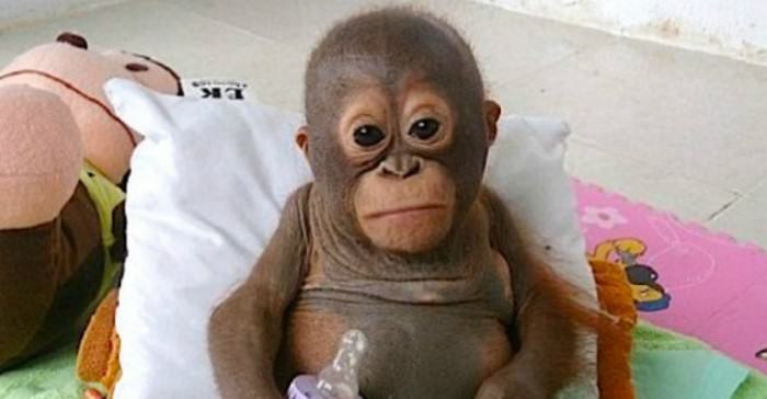 Baby Orangutan Receives Care After A Year Of Abuse qebeq e1422646889766