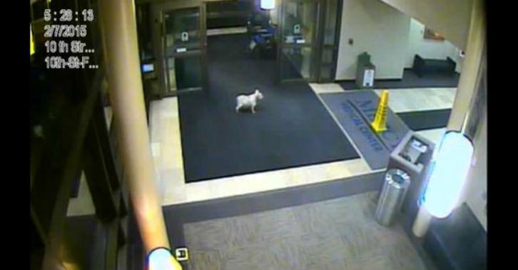 This Dog Ran 20 Blocks By Herself To Visit Owner In Hospital 31