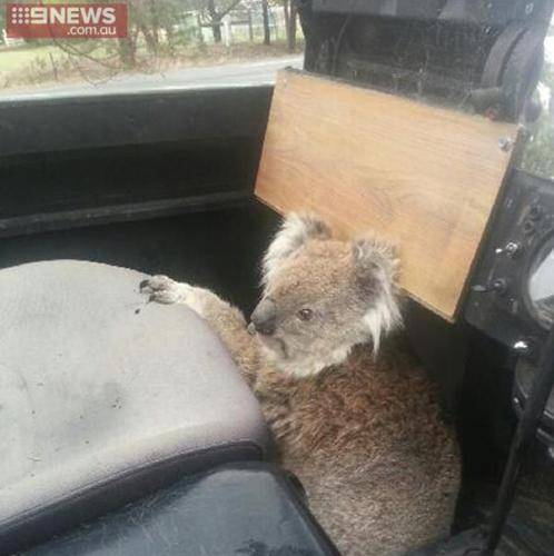 Lad Comes Home From School To Find Koala Trying To Drive Family Car ad 161008437