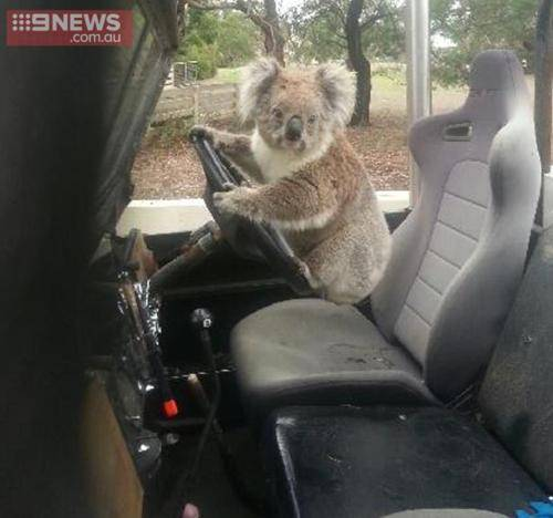 Lad Comes Home From School To Find Koala Trying To Drive Family Car ad 161008566