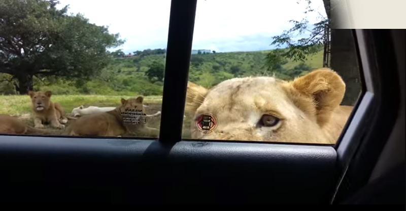 Lion Opens Familys Car Door During Safari In South Africa 112