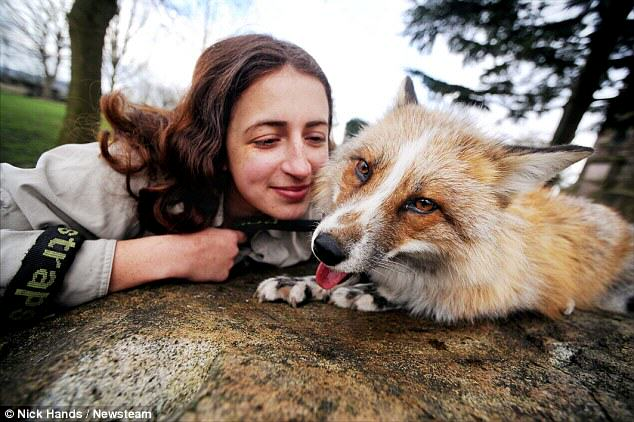 Meet Todd, The Adopted Fox That Is Just Like A Regular Dog 65