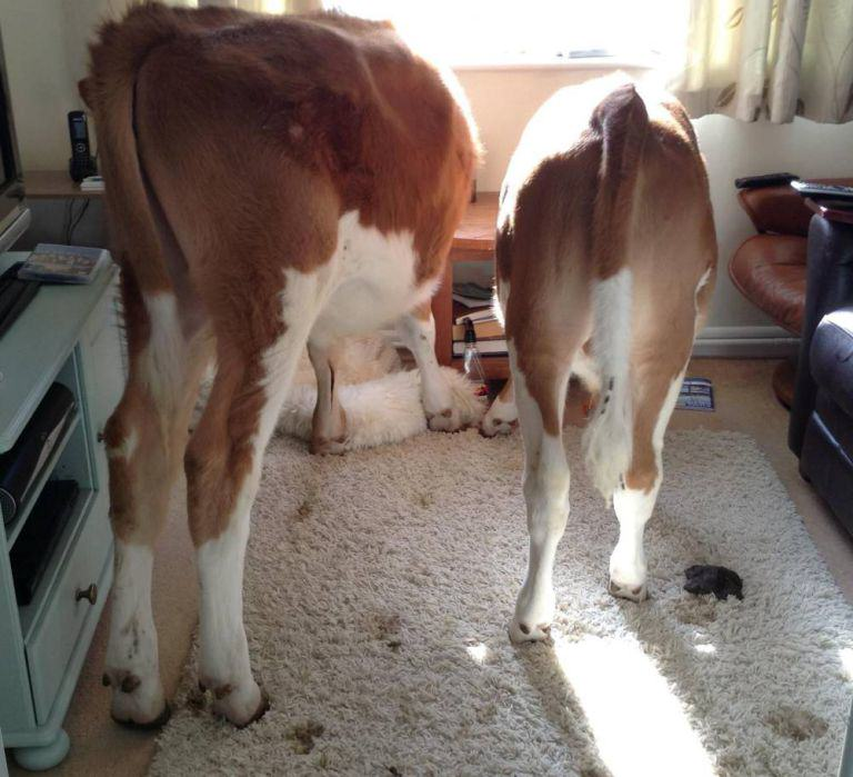 Cows Break Into Womans Home And Sh*t Everywhere ad 161765910