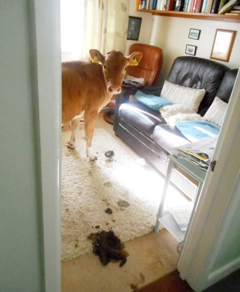 Cows Break Into Womans Home And Sh*t Everywhere ad 161768569