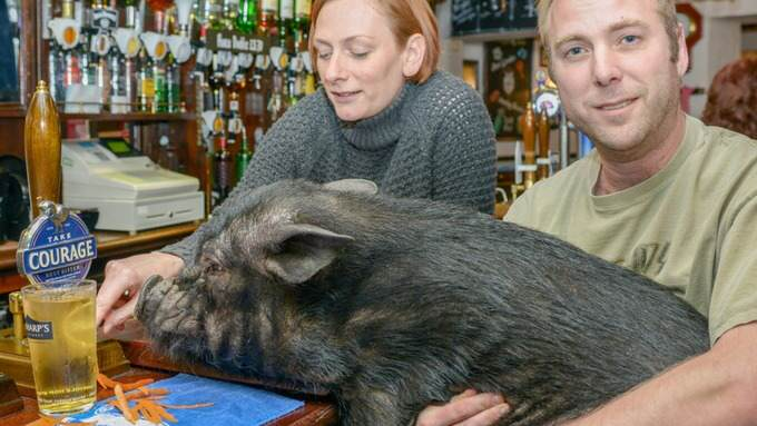 This Beer Stealing Pig Has Been Hit With An Alcohol Ban dxcfgvhjk