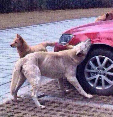 Dog Kicked By Guy Comes Back With Mates And Destroys His Car fgbhn 1