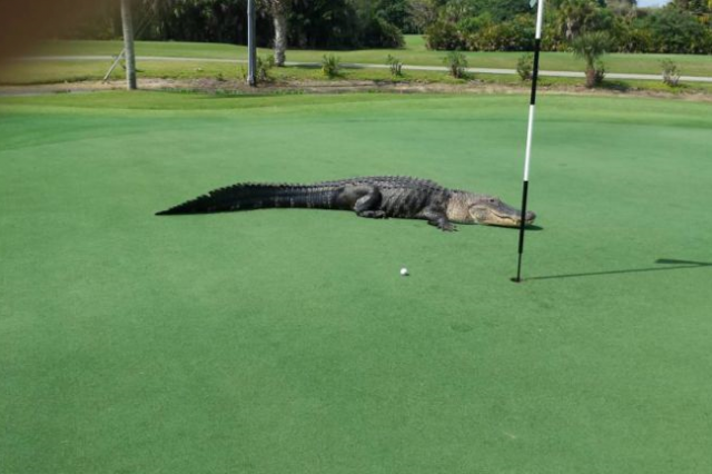What Do You Do When Faced With A 13 Foot Alligator? Carry On Playing Golf Obviously golf 640x426