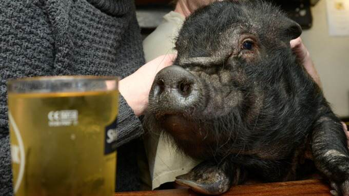 This Beer Stealing Pig Has Been Hit With An Alcohol Ban kjhgf